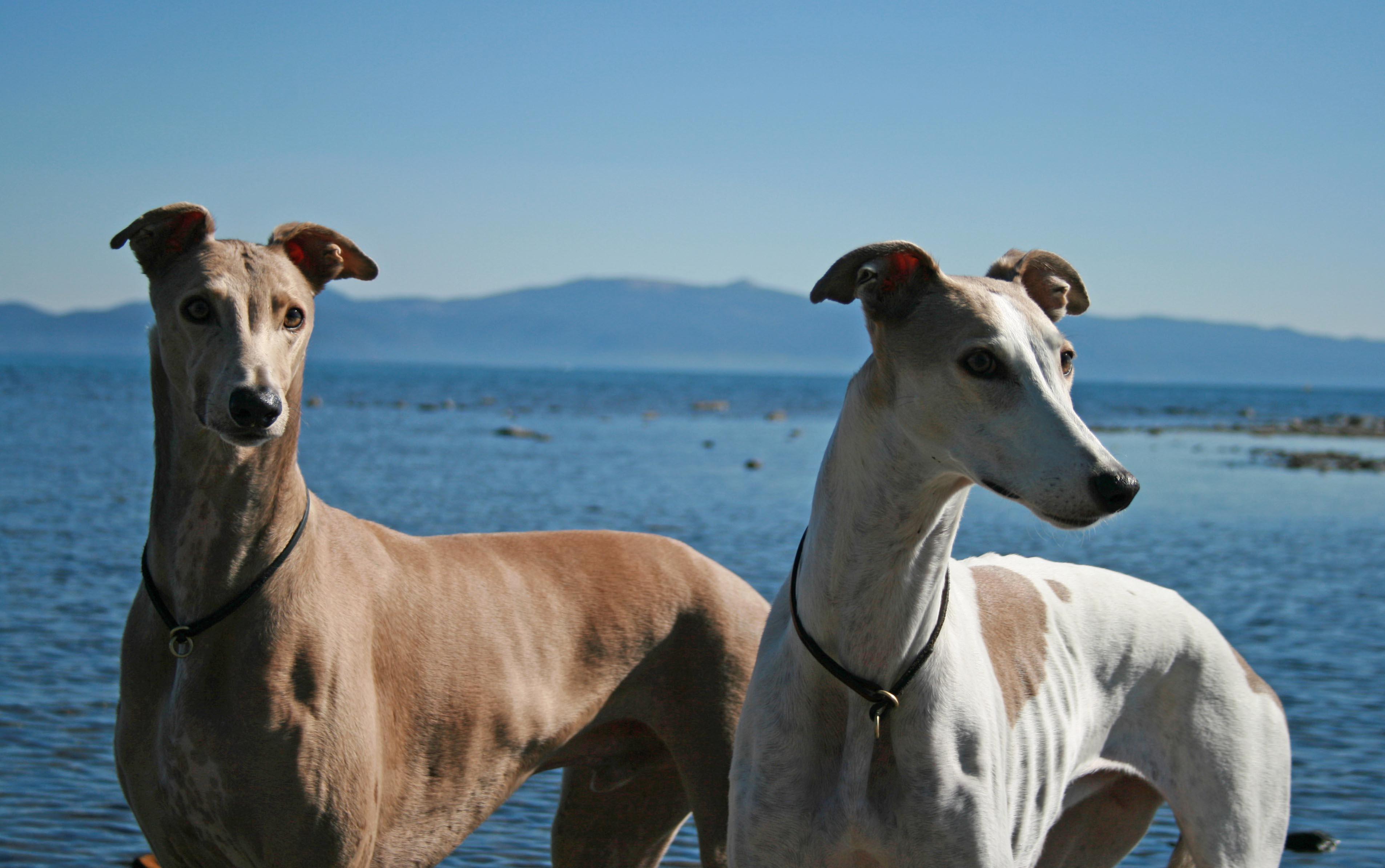 Greyhound Dog Mating Video